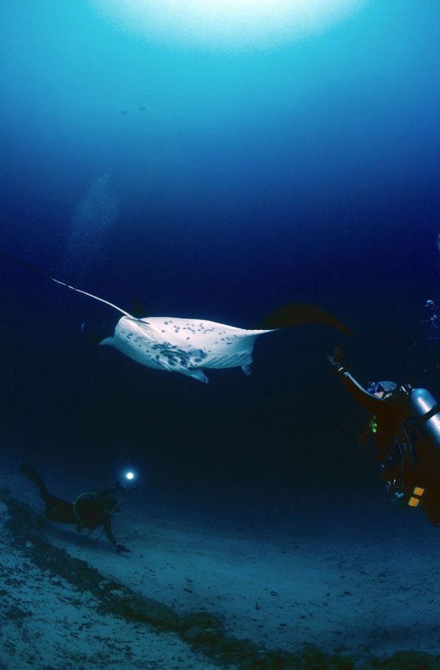 manta-ray-dive
