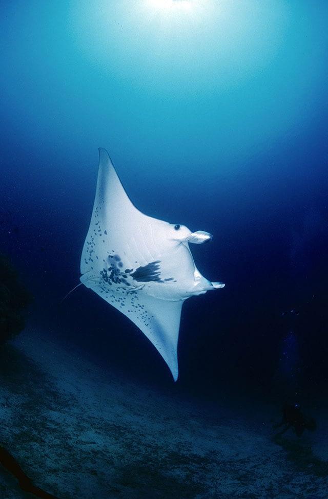 manta-ray